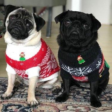 pugs in sweaters