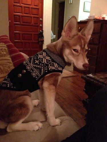 grumpy sweater dog