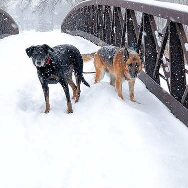two dogs in snow on a bridge