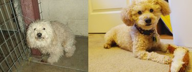 Dog before and after being groomed.