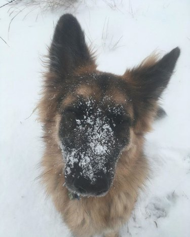 german shepherd with a snowy face