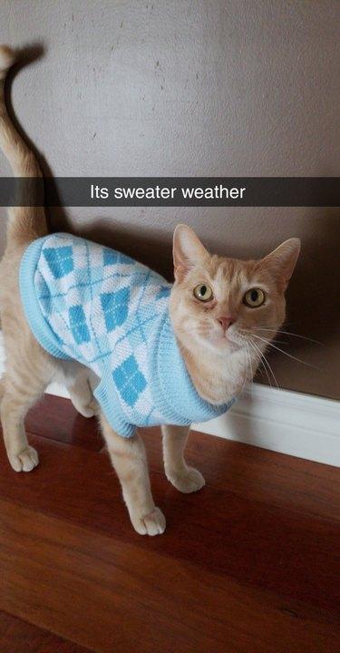 Cat wearing a sweater.