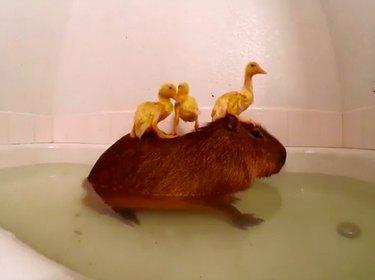 Three ducklings sitting on a capybara in a bathtub