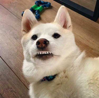 white dog with teeth showing in a smile
