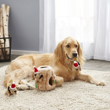Golden retriever plays with plush squirrels in Christmas hats
