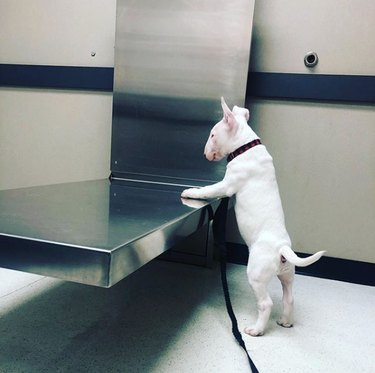 a bull terrier standing by the exam table