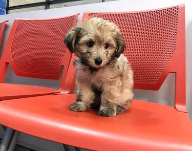 puppy sitting on orange chair in vet waiting room