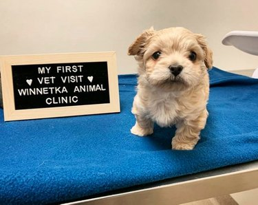 maltipoo puppy with first vet visit sign
