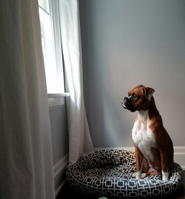 Boxer dog looking out window