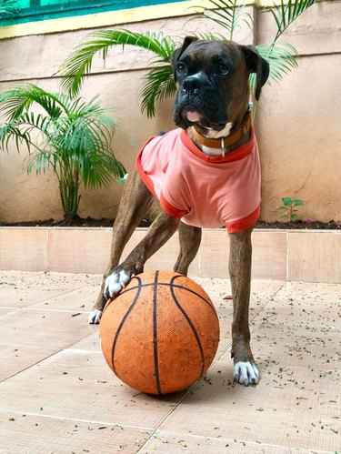 Boxer dog in a jersey with a basketball