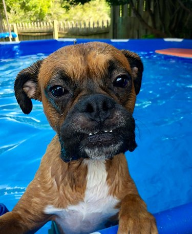 Boxer dog in pool with lower teeth sticking out