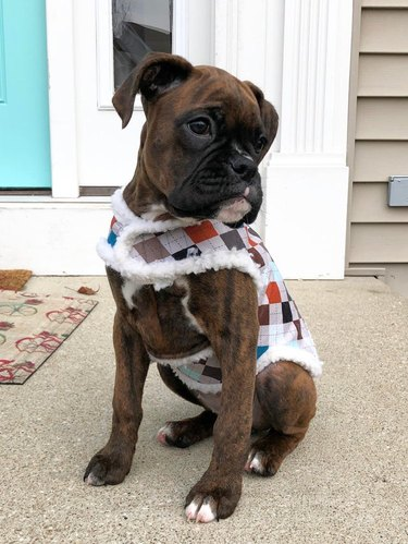 Boxer puppy wearing argyle coat