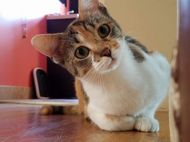 160+ names for calico cats and calico kittens