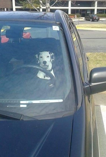 Dalmatian sitting in the front seat of a car.