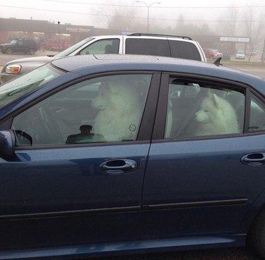 Samoyeds in a car.