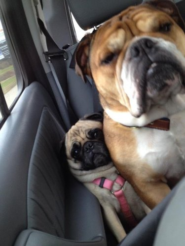 Bulldog squishing pug into side of car.