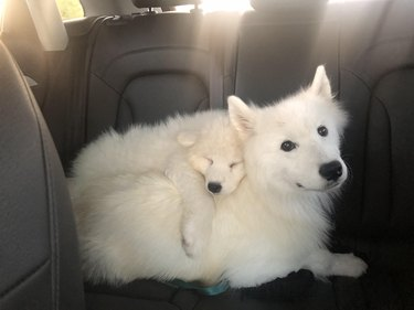 Samoyeds in the back seat of a car.