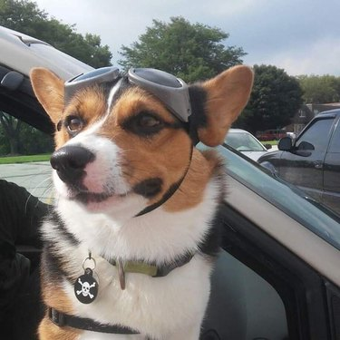 corgi named Wompus wearing goggles and hanging out of car window