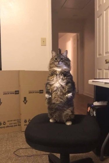 cat named Gozer standing like a meerkat on an office chair