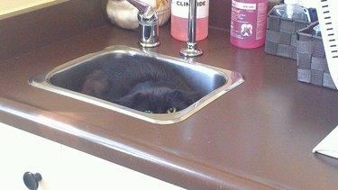 cat gets low to floor in attempt to elude vet