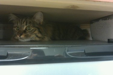 cat tries to hide from cat doctor