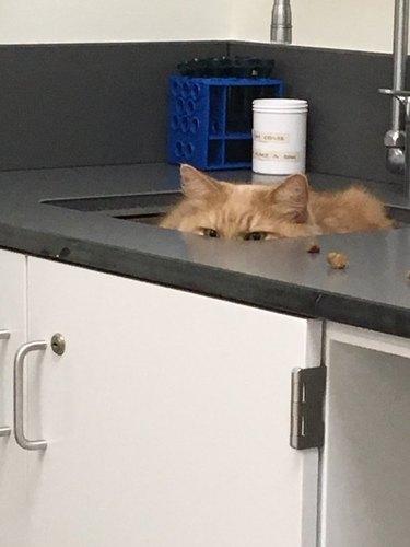 orange cat hides in sink from doctor