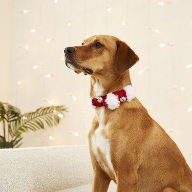 festive pet collar with jingling bells