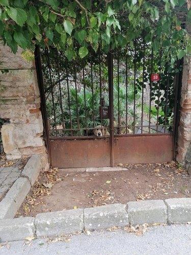 Dog behind a rusty gate