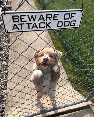 Puppy behind chainlink fence with sign that says Beware of Attack Dog