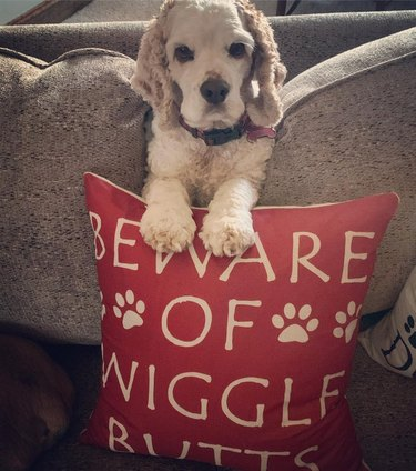 "Cocker Spaniel with pillow that says ""Beware of Wiggle Butts"""