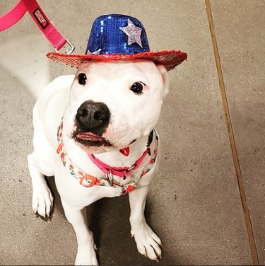 dog in sparkly stars and stripes hat