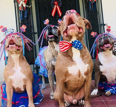 four dogs with stars and stripes paraphernalia