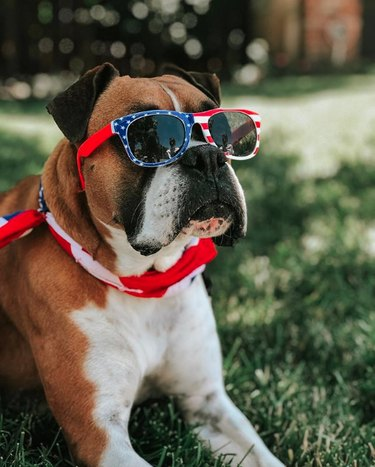 boxer dog with stars and stripes sunglasses