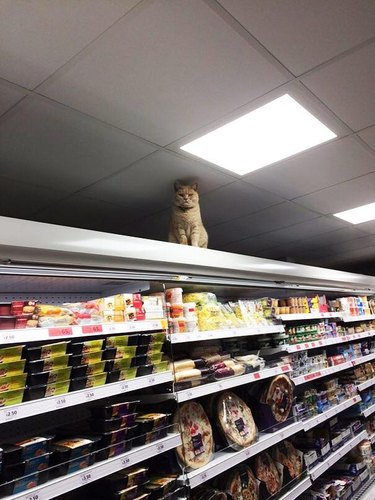Angry looking cat sitting on refrigerated case.