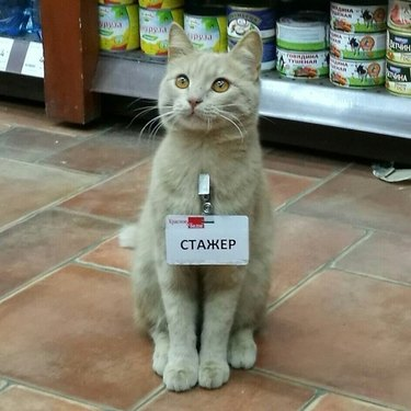 Kitten with a name tag that reads Trainee in Russian