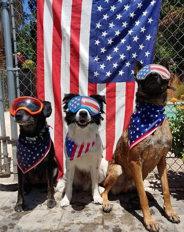 three dogs with American flag visors