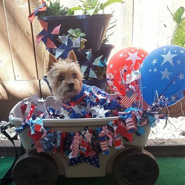yorkie with stars and stripes balloons