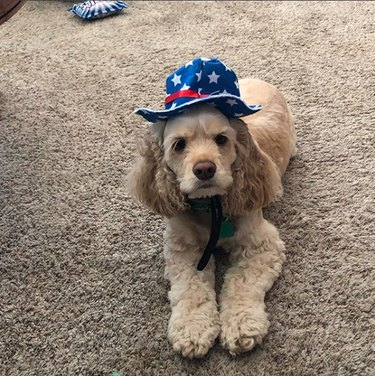 dog wearing stars and stripes hat