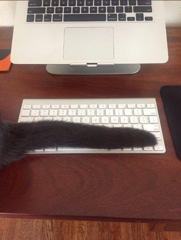 cat drapes tail across keyboard