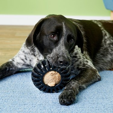 dog plays with treat wheel chew toy