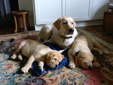Adult dog with two sleeping puppies