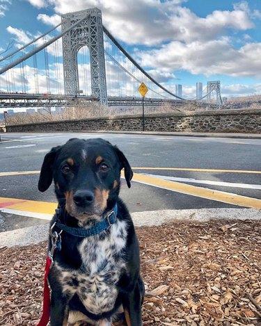 dog by George Washington bridge in New York