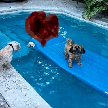 dog on floating pool toy