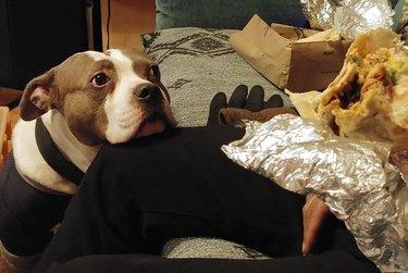 Dog looking at burrito
