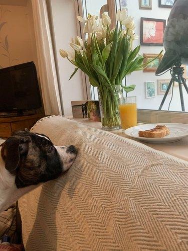 Dog looking at toast