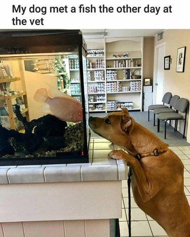 Dog looking at fish tank