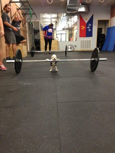 Puppy with its paws on a huge barbell