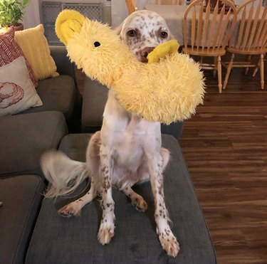 dog with yellow duck toy