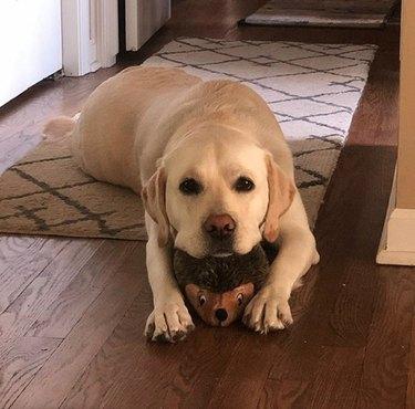 a dog lying on its stuffed porcupine toy