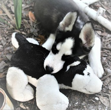 a black and white husky with a lookalike toy